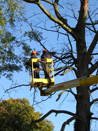 Acorn Arboriculture and Forestry specialising in all aspects of tree care and surgery in Essex